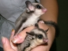 pair of sugar gliders in hand