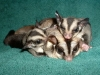 mother sugar glider and babies