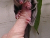cute sugar glider on thumb