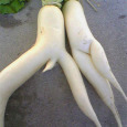 Male and Female Radish