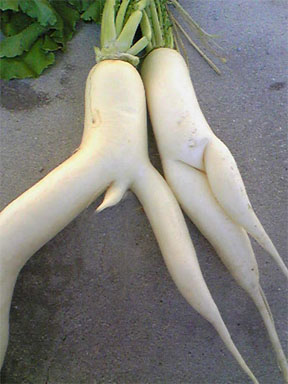 Male and Female Radish