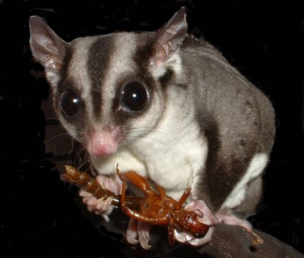 Feeding Pet Sugar Gliders - Choosing an Exotic Pet - Care of