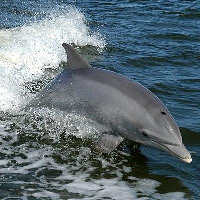 The Bottlenose Dolphin
