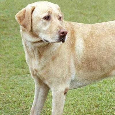 The Domestic Dog (Yellow Lab)